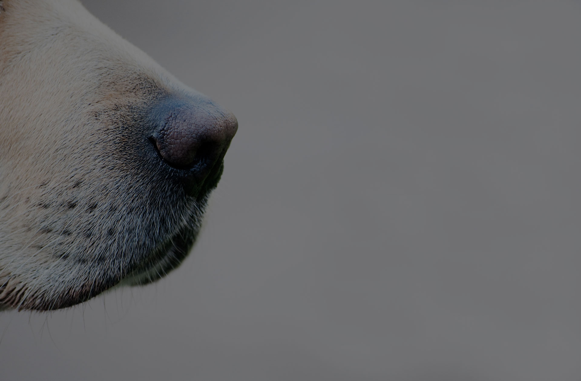Close up of a golden labrador's nose