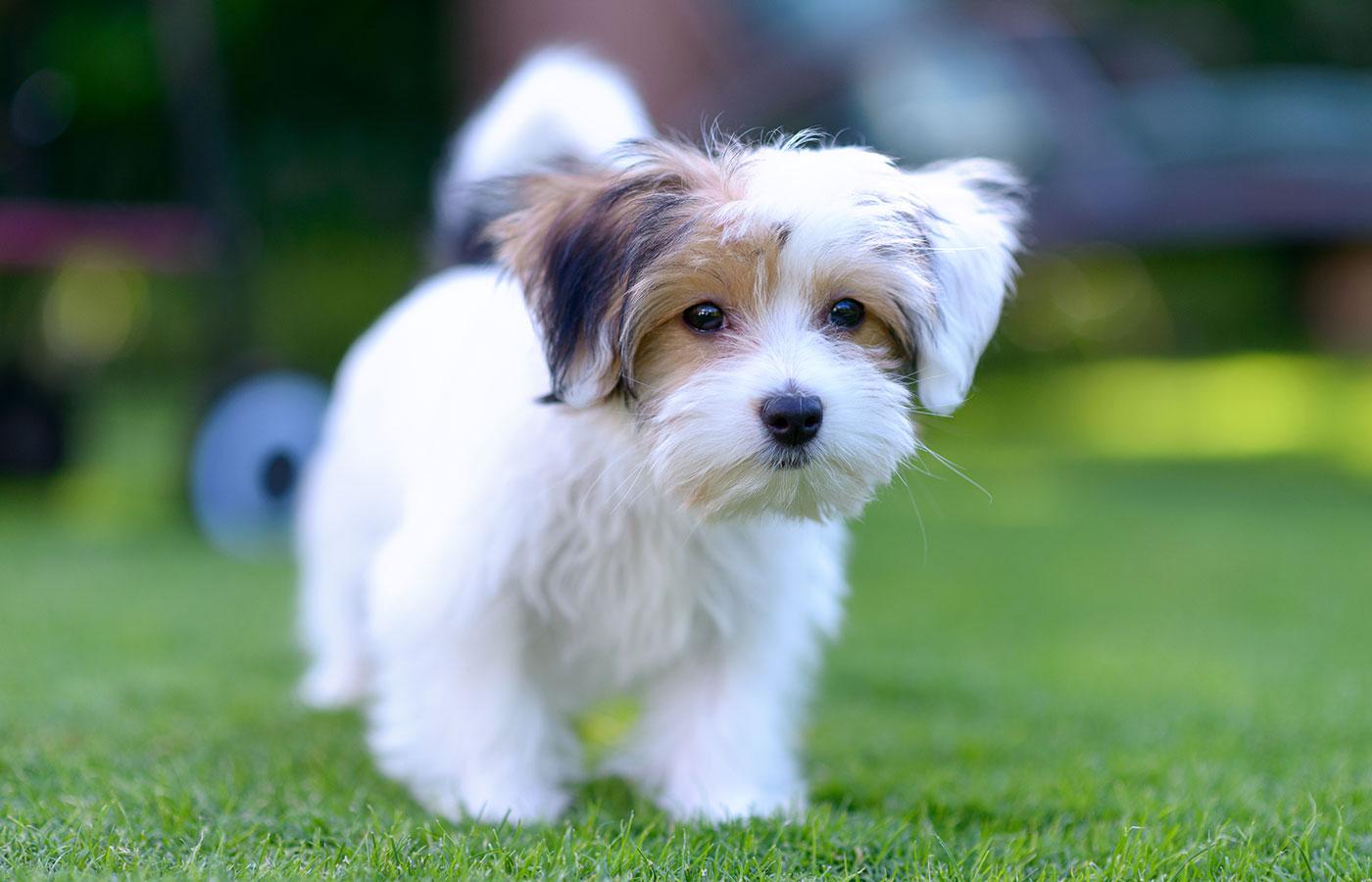 An adorable, curious puppy seems curious and inquisitive while playing on green grass in a vibrant, summer backyard setting